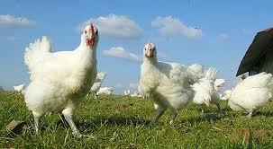"""Si nous devons manger du poulet, dégustons un poulet """"bio"""""""